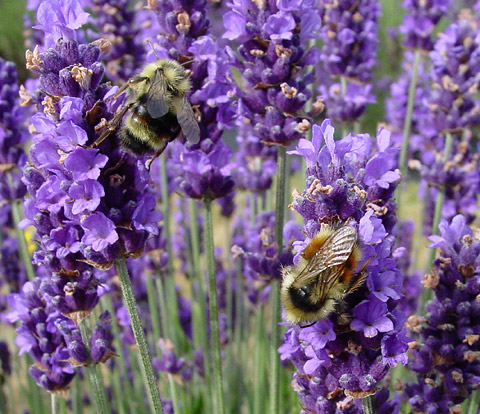 lavender-with-bumblebees.jpg